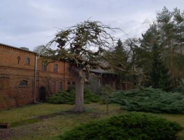8 Der Baum in Forst, Lausitz, vor der Ausgrabung