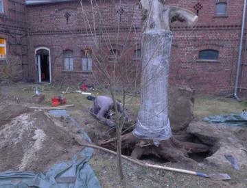 22 Ausgrabung des Baums für Bowling Ball Beach II
